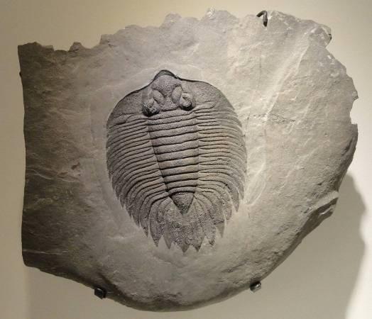 Het diertje lijkt een beetje op deze trilobiet