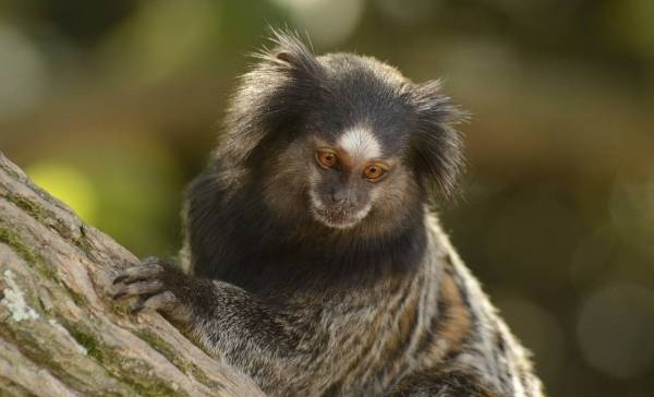 Marmoset aapjes leren nieuw dialect