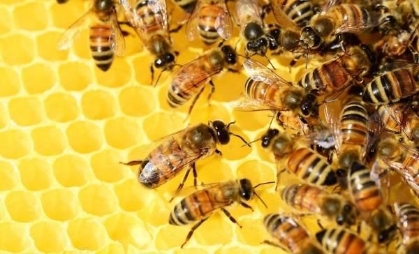 Bijen dansen in dialect
