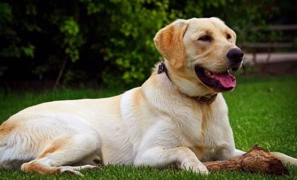 Honden speuren naar coronavirus