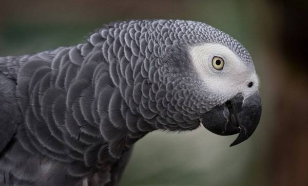 Vloekende papegaaien in Engels park