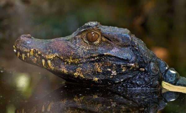Jonge alligators kunnen staart laten groeien.