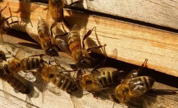 Werktuiggebruik bij bijen gezien