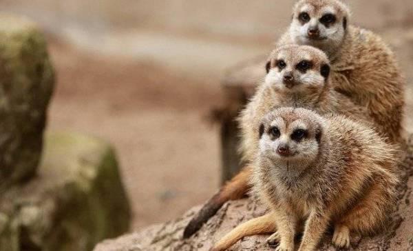 Heeft een lockdown ook effect op dierentuindieren?