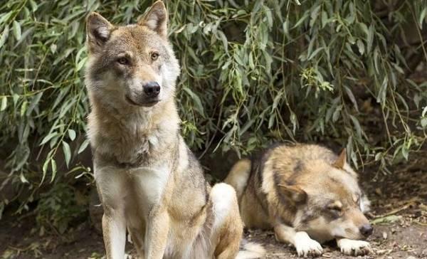 Belgische wolven maken uitstapjes naar Limburg